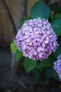 Hortensia flowers.